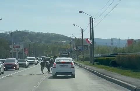 В районе ул. Бархатной бегают испуганные коровы